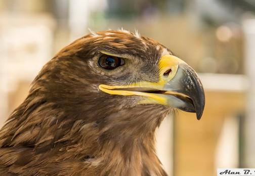 Дикий горный орел в дозоре