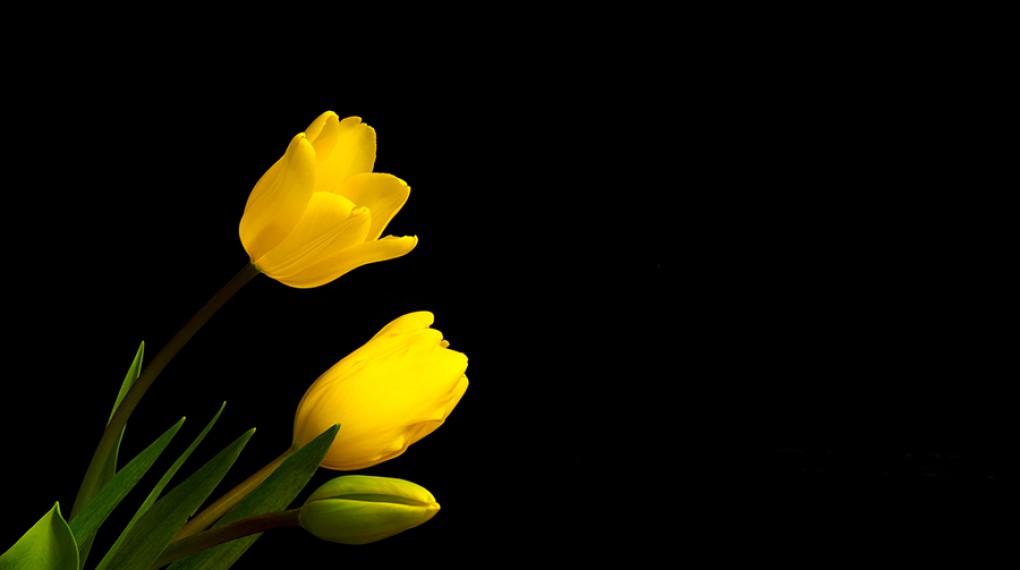 Очарование желтого тюльпана