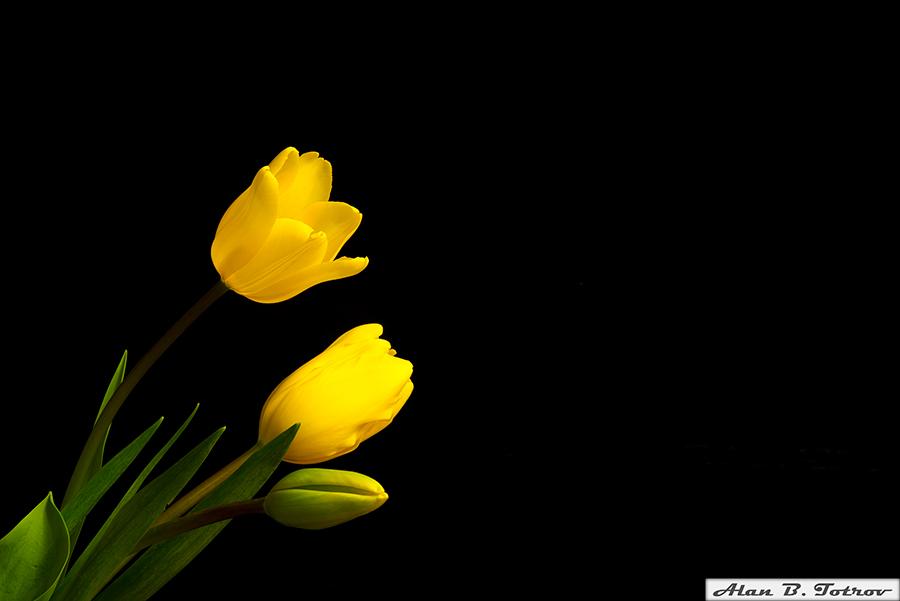 Желтые тюльпаны на черном